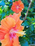 Orange Hibiscus Flower Royalty Free Stock Photos