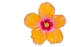 Orange Hibiscus flower, Thailand. Orange Hibiscus flower isolated on white background Royalty Free Stock Images