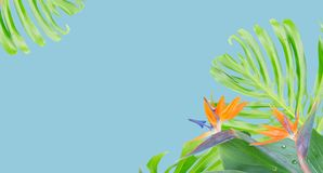 Orange hibiscus flower. Tropical flowers and leaves - border of fresh strelizia bird of paradize flowers and exotic monstera leaves on blue background banner Stock Images