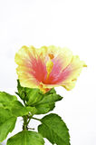 Orange hibiscus flower on white Stock Images