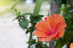 Orange hibiscus flowers. Orange hibiscus flowers and beautiful pollen with drop water of rain Stock Image