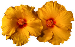 Orange Hibiscus Flowers Stock Photo