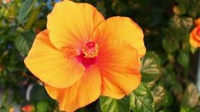 Orange hibiscus flowers in Thailand. Orange hibiscus flowers beautiful city of Thailand stock video footage