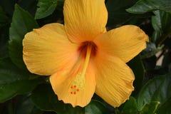 Orange hibiscus. With green foliage background Stock Photos