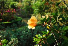 Orange hibiscus Royalty Free Stock Image