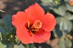 Orange hibiscus Royalty Free Stock Photo