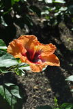 Orange hibiscus. From the island of Jamaica royalty free stock photography