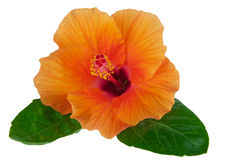 Orange hibiscus with leaves Stock Image