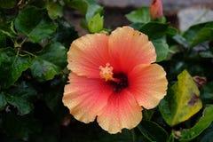 Orange Hibiscus. After a Light Morning Rain stock photos