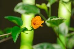 Orange Hibiscus mit dem nahen Blumenblatt Hibiscus wird mit einem Blumenblatt fünf mit langem Pollenschlauch gekennzeichnet Stockfotos