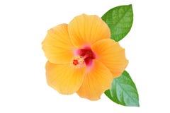 Free Orange Hibiscus On White Background Stock Image - 88584651