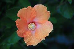 Orange hibiscus. With rain drops Stock Photography