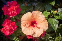 Orange hibiscus and red geranium flowers. In a flower pot royalty free stock photo