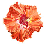Orange hibiscus simple corrugated. Tropical flower vector illustration vector illustration