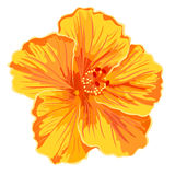 Orange hibiscus simple Stock Photo