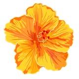 Orange hibiscus simple. Flowers tropics vector illustration Stock Photo