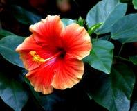 Orange Hibiscus. Single orange Hibiscus Flower on black background Stock Image