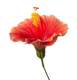 Orange Hibiscus Tropical Flower Isolated Royalty Free Stock Photography