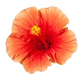 Orange Hibiscus Tropical Flower Isolated Stock Photography