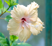 Orange hibiscus, tropical flower. Royalty Free Stock Photography