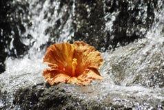Orange Hibiscus und ein Wasserfall Stockfotos