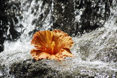 Orange hibiscus and a waterfall Stock Photos