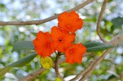 Orange Hibiscus zeigt stolz seine Schönheit in Mexiko an lizenzfreie stockbilder
