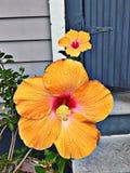 Orange Hibiscusblumen Lizenzfreie Stockfotografie