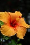 Orange hibiskus Arkivbild