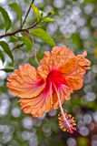 Orange hibiskus royaltyfria bilder