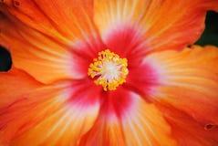 Orange hibiskus Arkivfoton