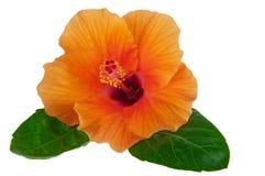 Orange hibiskus med sidor Fotografering för Bildbyråer