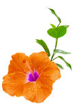Orange hibiskus, tropisk blomma på vit Arkivbild