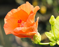 Orange hibiskusblomma Arkivbilder