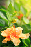 Orange hibiskusblomma Arkivfoton