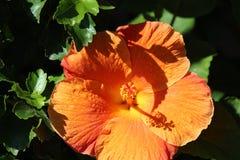 Orange hibiskusblommaskugga arkivfoton