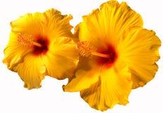 Orange hibiskusblommor Fotografering för Bildbyråer