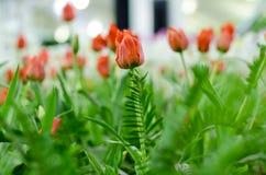 Orange Hintergrund der Tulpe verwischt in Rayong lizenzfreie stockfotografie