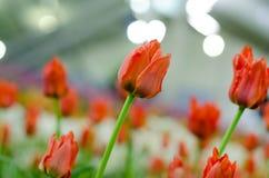 Orange Hintergrund der Tulpe verwischt in Rayong lizenzfreie stockfotos