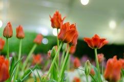 Orange Hintergrund der Tulpe verwischt in Rayong lizenzfreies stockbild
