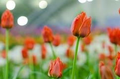 Orange Hintergrund der Tulpe verwischt in Rayong stockfoto