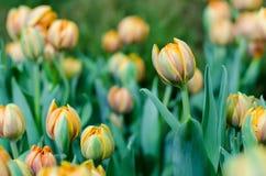 Orange Hintergrund der Tulpe verwischt in Rayong lizenzfreies stockfoto