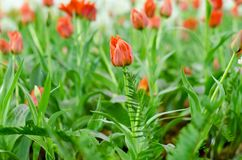 Orange Hintergrund der Tulpe verwischt in Rayong stockbild