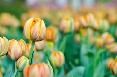 Orange Hintergrund der Tulpe verwischt in Rayong stockfotos