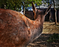Orange hjortar från baksida Royaltyfri Fotografi