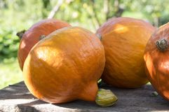 Orange Hokkaido Squash in sunlight in the garden, after harvest stock images