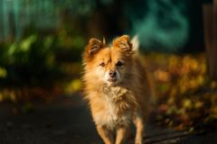 Orange homeless dog looks at you royalty free stock photography