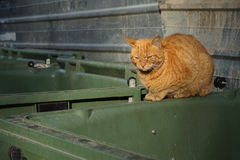 Orange, homeless stray cat lying on the garbage container Stock Photography