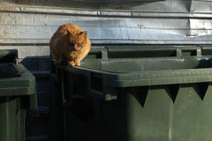 Orange, homeless stray cat lying on the garbage container Royalty Free Stock Image
