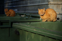Orange, homeless stray cats lying on the garbage container Royalty Free Stock Photo